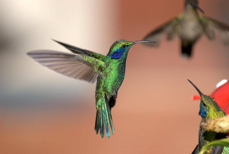 Colibri thalassin - oiseaux.net